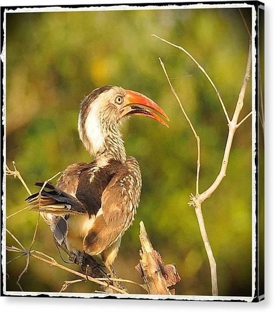 Hornbill Canvas Print - African Hornbill #africa #hornbill by Polly Rhodes
