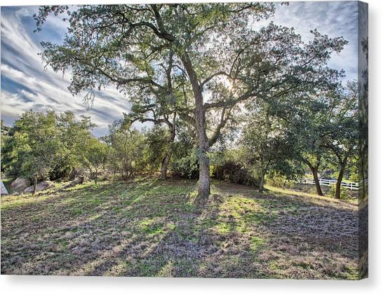 Afternoon Oak With Cirrus Canvas Print