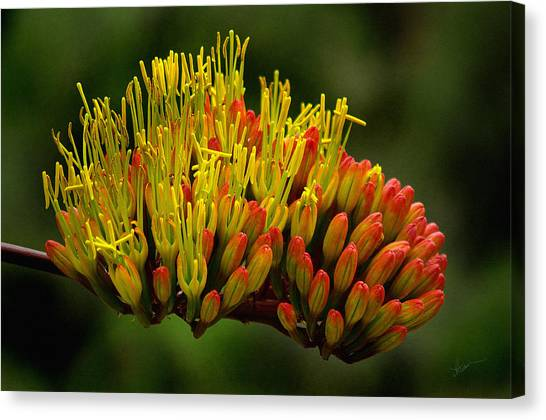 Agave Bloom Canvas Print