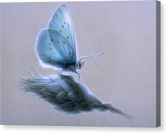 Ainsae Canvas Print by Shawn Kawa