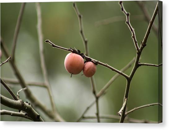 Alabama Wild Persimmons Canvas Print