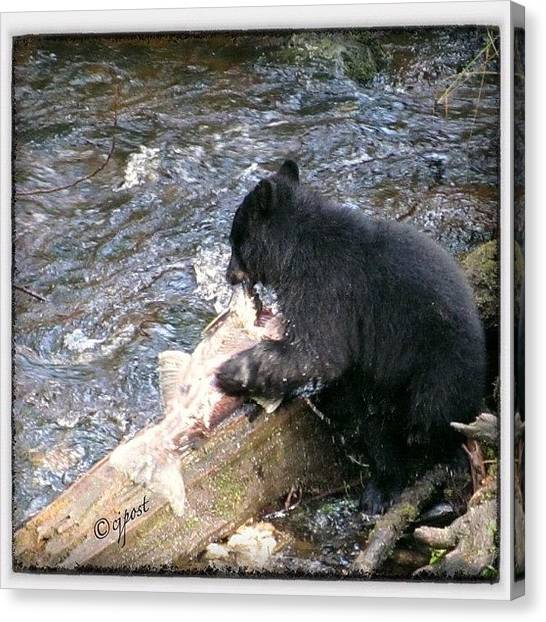 Salmon Canvas Print - Alaskan Black Bear Cub Dining On Mom's by Cynthia Post