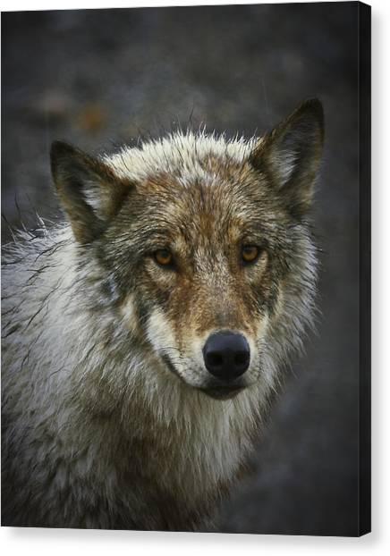 Alaskan Wolf Canvas Print