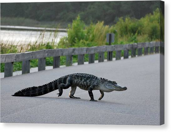 Alligator On A Food Hunt Canvas Print