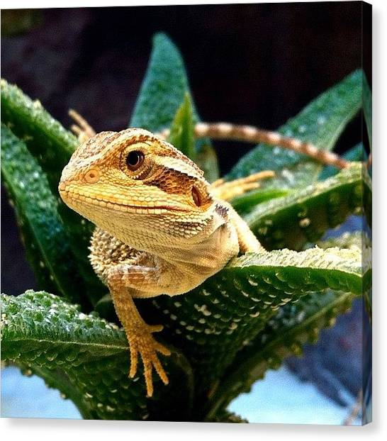 Lizards Canvas Print - #allshots #all_shots #nature by Uriel Gonzalez