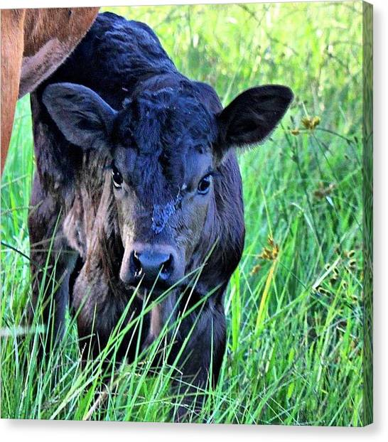 Cow Canvas Print - #all_shots #ranchlife #bestoftheday by Lisa Yow