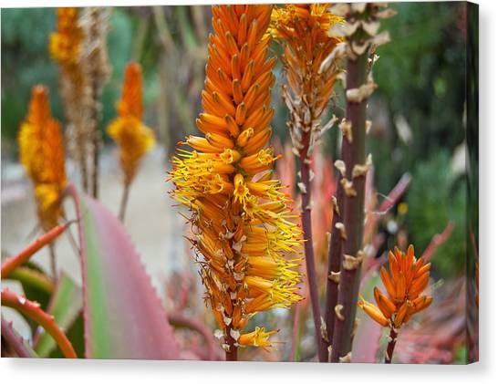 Aloe Vera Blossoms Canvas Print
