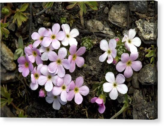 Alpine Rock-jasmine (androsace Alpina) Canvas Print by Bob Gibbons