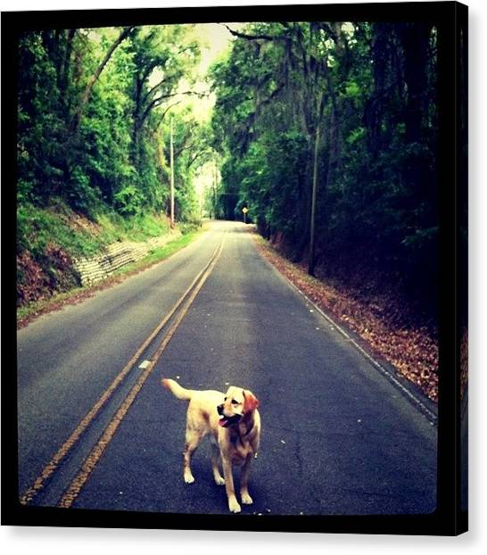 Yellow Lab Canvas Print - Also Going To Miss Walking The Pup by Ashton L