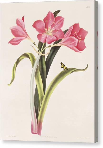 Amaryllis Canvas Print - Amaryllis Purpurea by Robert Havell