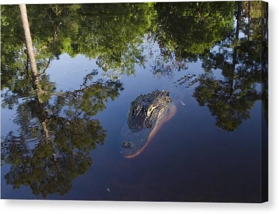 Okefenokee Canvas Print - American Alligator In The Okefenokee Swamp by Pete Oxford