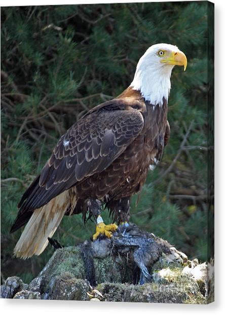 American Bald Eagle Canvas Print by Kathy Eastmond