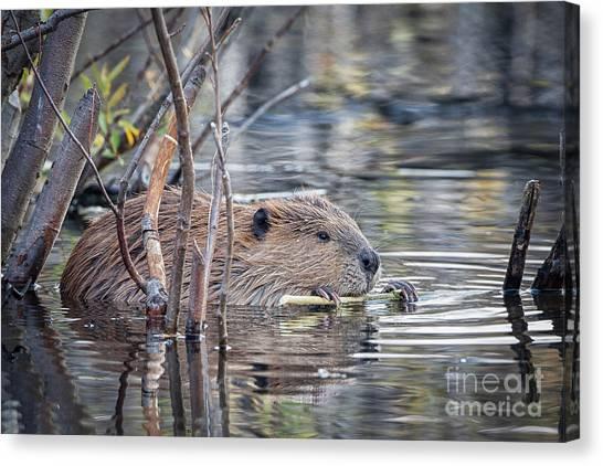 American Beaver Canvas Print