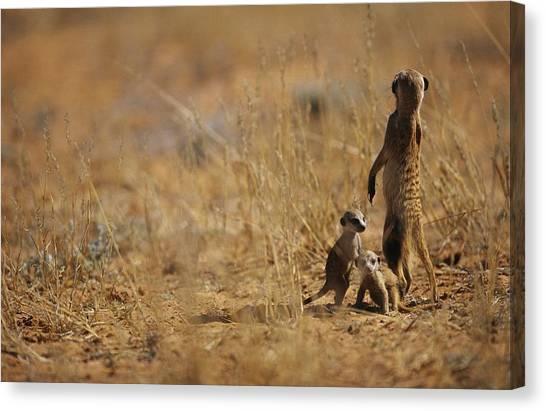 Republic Of South Africa Canvas Print - An Adult Meerkat Stands Guard Over Two by Mattias Klum