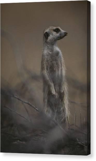 Republic Of South Africa Canvas Print - An Adult Meerkat Suricata Suricatta by Mattias Klum