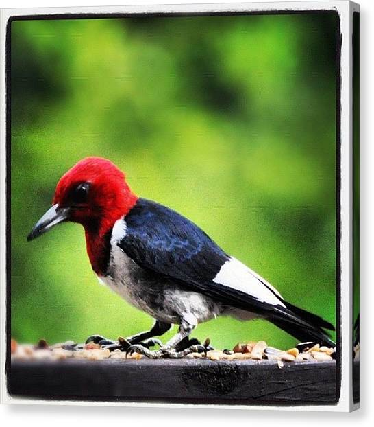 Woodpeckers Canvas Print - An #alabama Red-headed #woodpecker by Molly Slater Jones