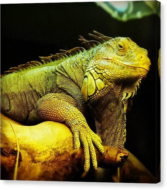Iguanas Canvas Print - An #iguana (?) From A #zoo by Alexandra Cook