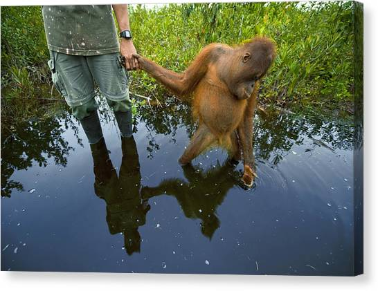 And Threatened Animals Canvas Print - An Orangutan Orphan Clings To The Hand by Mattias Klum
