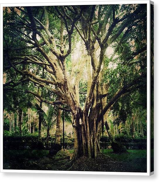 Mexican Canvas Print - Ancient Tree by Natasha Marco