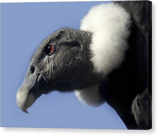 Condors Canvas Print - Andean Condor by Linda Wright