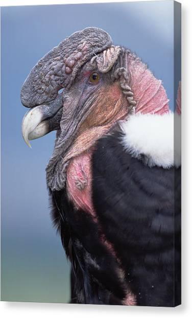 Condors Canvas Print - Andean Condor Vultur Gryphus Adult Male by Tui De Roy
