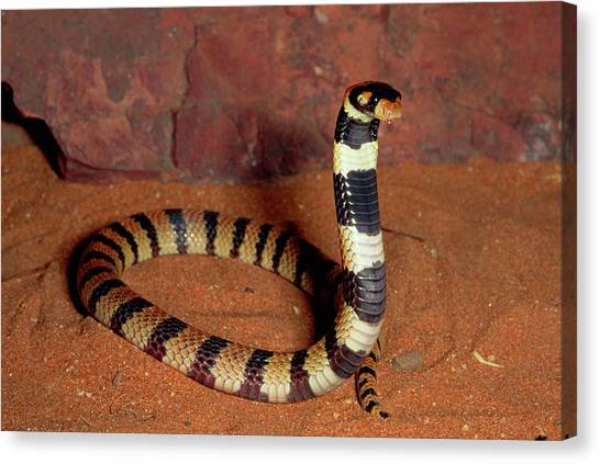 Coral Snakes Canvas Print - Angolan Coral Snake Aspidelaps Lubricus by Michael & Patricia Fogden