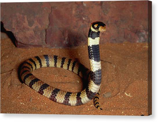 Coral Snakes Canvas Print - Angolan Coral Snake Defensive Display by Michael and Patricia Fogden