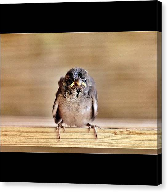 Sparrows Canvas Print - #angry Birds by Pier Paolo Cristaldi