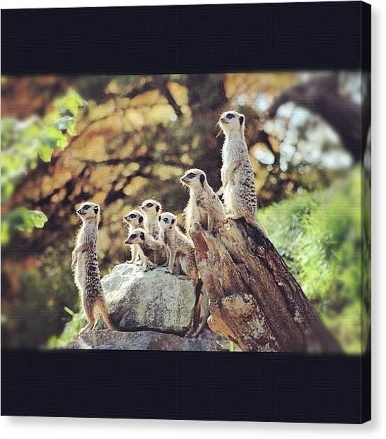Meerkats Canvas Print - #animals  #nature  #wildlife by Nicola  Young