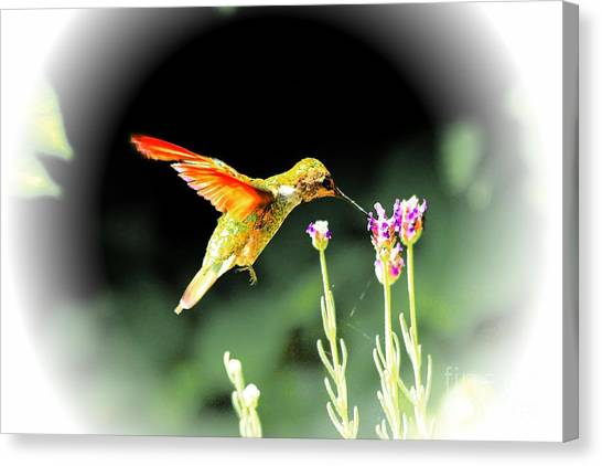 Anna Humming Bird  Canvas Print by Paul Baker