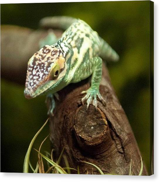 Lizards Canvas Print - #anole #cuban #green #lizard #reptile by Michael Lynch