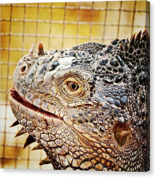 Iguanas Canvas Print - Another Iguana #webstagram by Tanya Sperling