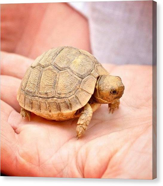 Tortoises Canvas Print - Another Little Reptile That I Saw by Tanya Sperling