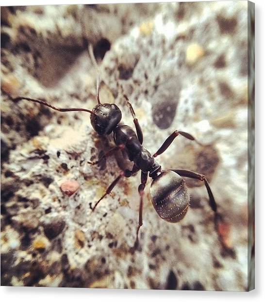 Ants Canvas Print - Ant by Eddy Welch