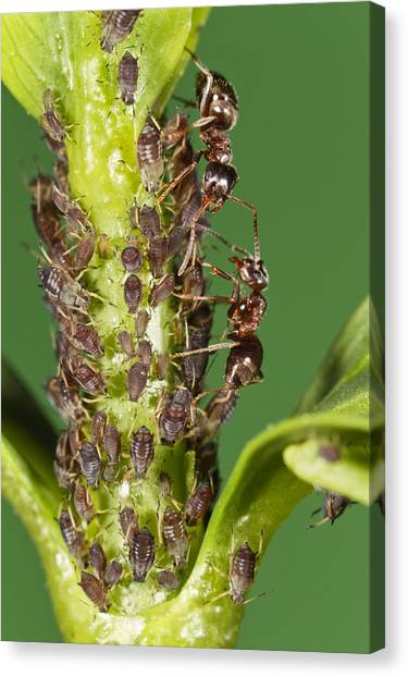 Honeydews Canvas Print - Ant Formicidae Pair Protecting Aphids by Konrad Wothe