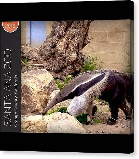 Ashes Canvas Print - #anteater #santaanzoo #gogobot #travel by Ash Eliot