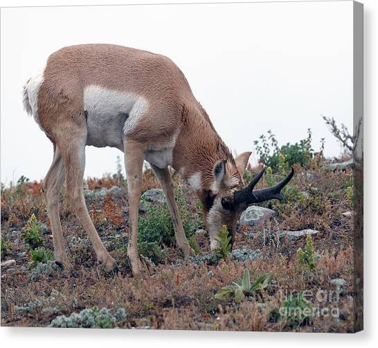 Antelope Grazing Canvas Print