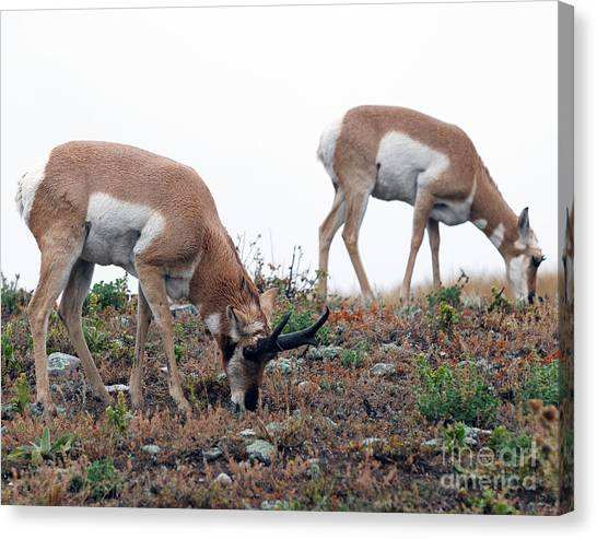 Antelopes Grazing Canvas Print