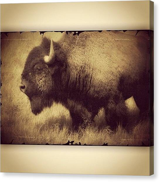 Wyoming Canvas Print - Antique Effect On A Buffalo Photo I by Chris Bechard