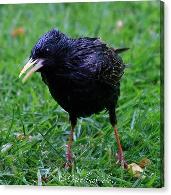 Ornithology Canvas Print - Anything For Me? Starling -one Of A by Caroline Coles