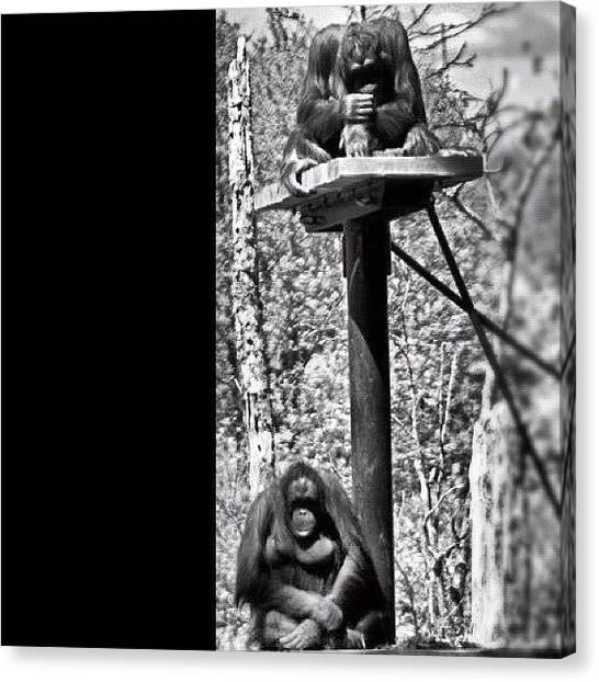 Orangutans Canvas Print - #apes #monkey #monkeys #orangutan by Nik Allen