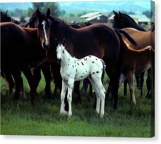 Appaloosa Foal White Spotted Canvas Print