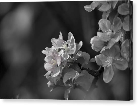 Fruit Trees Canvas Print - Apple Blossom Days by Susan Capuano