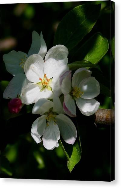 Apple Blossoms2 Canvas Print