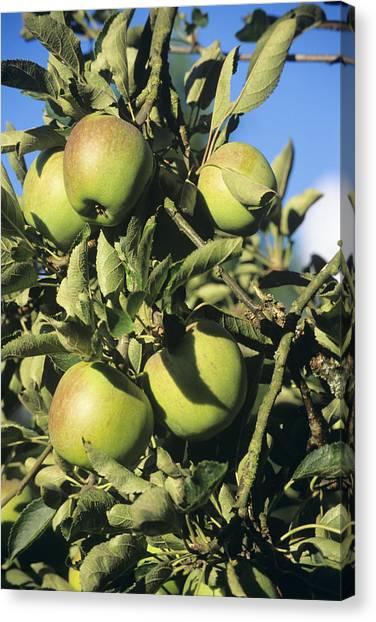 Apples Ripening On A Tree Canvas Print by David Aubrey