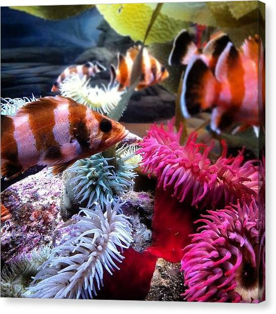 Aquariums Canvas Print - #aquariumofthepacific #fish #aquarium by Daniel Corson