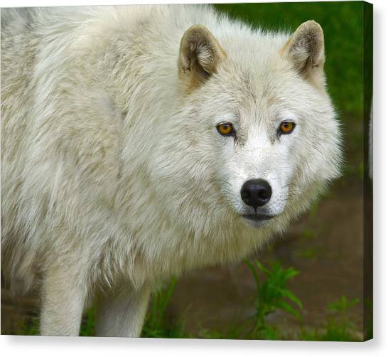 Arctic Wolf Canvas Print - Arctic Wolf by Tony Beck