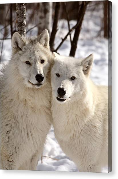 Arctic Wolf Canvas Print - Arctic Wolves Close Together In Winter by Mark Duffy