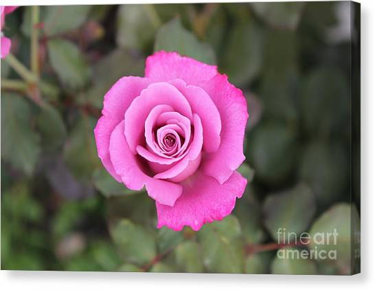 Arose-atherapy Canvas Print by Scenesational Photos