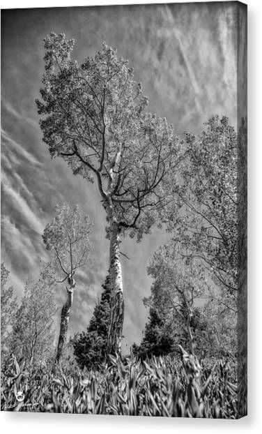 Aspen In The Sky Bw Canvas Print by Mitch Johanson